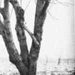 Żywe wiązania drzew