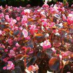 Begonia stale kwitnąca
