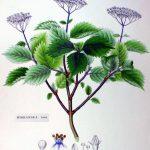 Hortensja - Irga - Jaśminowiec
