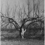Cięcie drzew przemarzniętych
