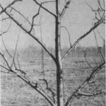 Palmeta skośna (włoska)