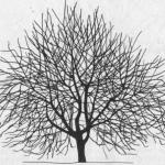 Cięcie wiśni owocujących