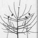 Formowanie koron szpalerowych wiśni