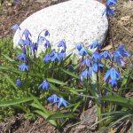 Cebulica syberyjska - Hiacynt wschodni - Korona cesarska