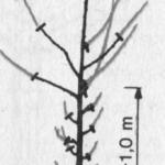 Formowanie koron wiśni do mechanicznego zbioru owoców